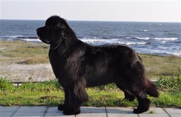 verdens smukkeste hund