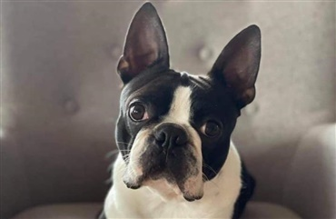 Boston terrier forsvundet fra juniorhandlerkursus